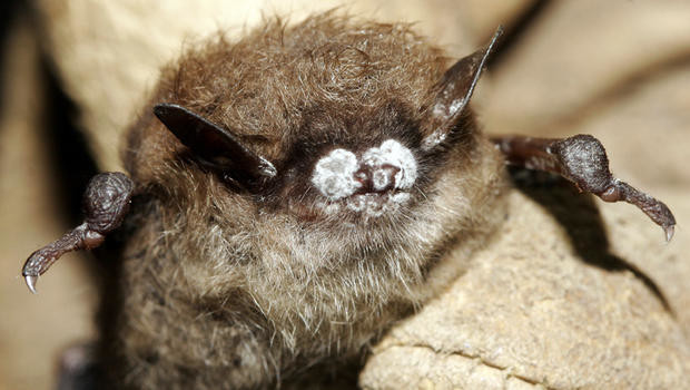 the battle against white-nose syndrome sat answers