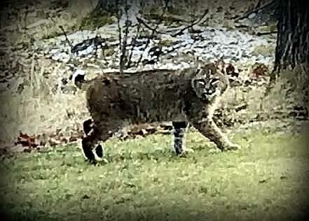 Bobcats and cougars and bears in Glen Arbor? Oh my! |Glen Arbor Sun